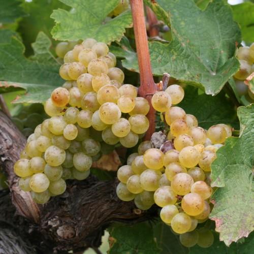Muškát žltý, najstarší potomok vzácnej rodiny vín