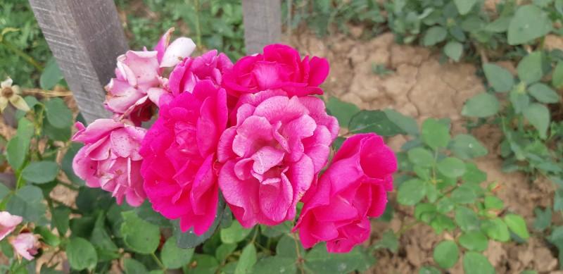 Rosa, čarovná dáma s ružami